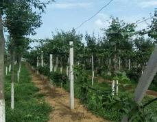 软枣猕猴桃基地