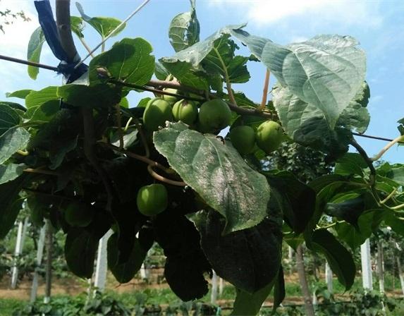 软枣猕猴桃销售
