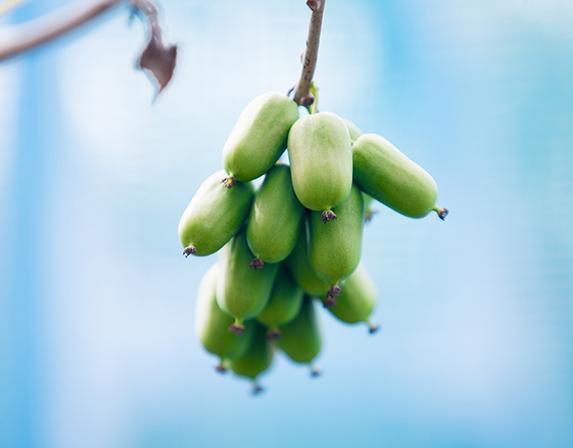 哈尔滨软枣猕猴桃