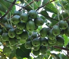 杭州软枣猕猴桃