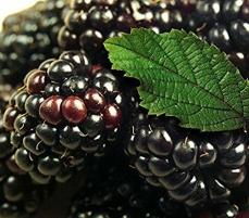 哈尔滨黑树莓