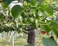 哈尔滨奇异莓
